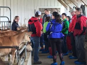Guests looking at cattle