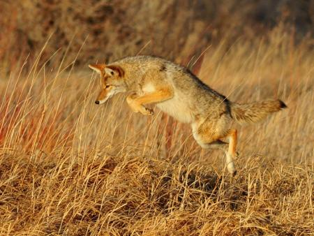 Coyote leaping in a field
