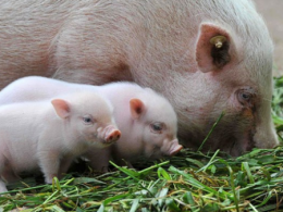 Piglets with mother