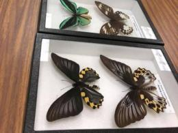 Butterfly display at the Museum of Biological Diversity
