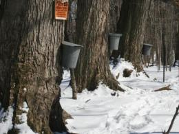 Maple sap buckets on trees