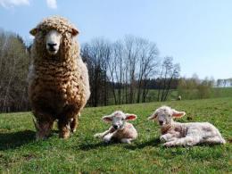 Ewe with two lambs