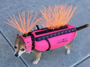 Dog wearing a vest to ward of coyote attacks