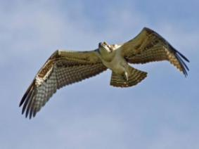 OSU Extension's Marne Titchenell will present on Ohio's soaring predatory birds - hawks, owls, eagles and more!