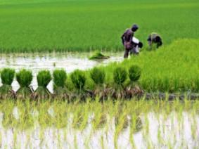 Rice paddy in Bangladesh