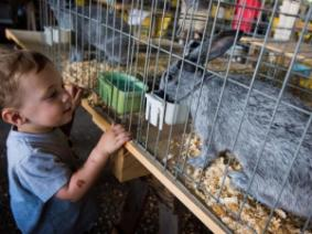 Child looks at rabbit at the Ohio State Fair